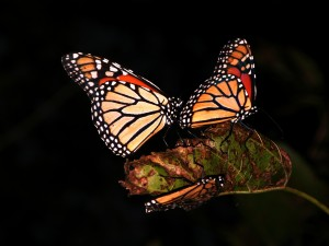 Stained Glass Monarchs - Thayerapy Gardens